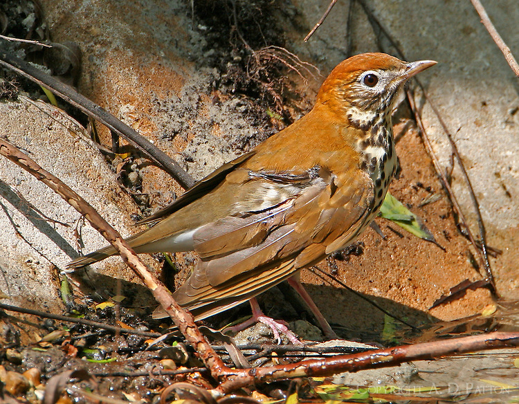 Adult wood thrush bathing