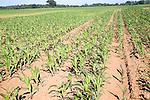 Young crop of sweetcorn growing in field, Shottisham, Suffolk, England