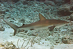 Carcharhinus perezii, Caribbean reef shark, Florida Keys