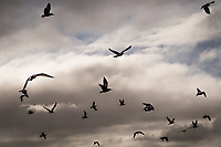 After a stormy morning the clouds start to part and gulls at a neighborhood park take flight.