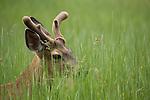 Mule Deer (Odocoileus hemionus) buck in grasses, Yosemite Valley, Sierra Nevada, Yosemite National Park, California