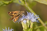 389390006 a wild female fiery skipper hylephila phyleus perches on a flower at  the naba site in mission hidalgo county lower rio grande valley texas united states