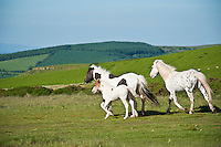Welsh mountains ponies, Hay Bluff, Wales