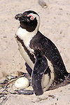 African Penguin & 2 Egg