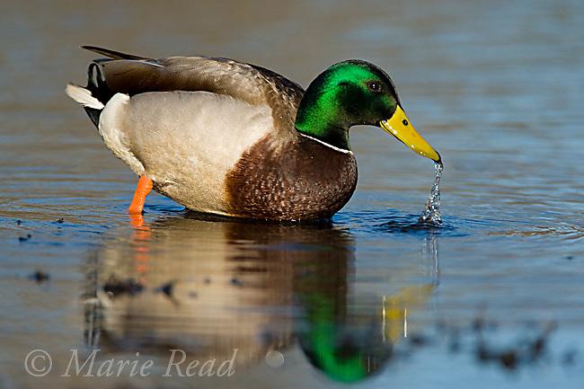 Mallard (Anas platyrhynchos), foraging in shallow water, Orange County, California, USA