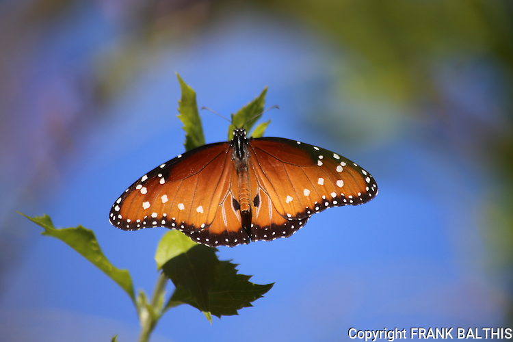 Queen butterfly in Palm Desert