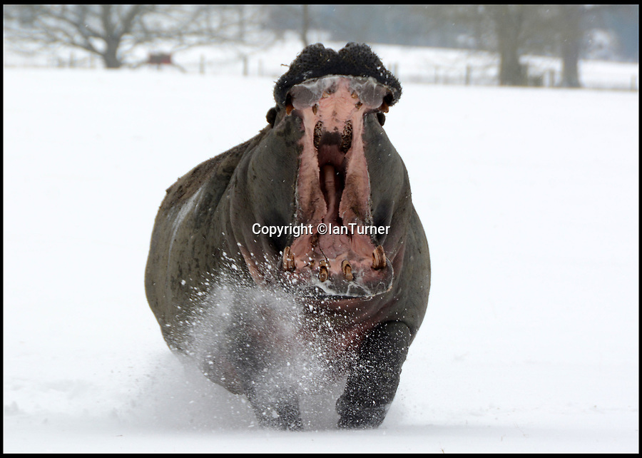 BNPS.co.uk (01202 558833)Pic: IanTurner/BNPS<br /> <br /> Spot the Hippo is out of his comfort zone at the Longleat Safari Park in Wiltshire today.
