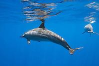 spinner dolphins, Stenella longirostris, Kealakekua Bay, Big Island, Hawaii, Pacific Ocean