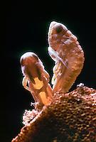 Große Goldschrecke, Schlupf, Chrysochraon dispar, large gold grasshopper, eclosion