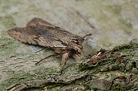 Gelbbraune Rindeneule, Gelbbraune Holzeule, Buschland-Holzeule, Lithophane socia, Lithophane hepatica, pale pinion, Eulenfalter, Noctuidae, noctuid moths, noctuid moth