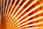 Radiating Orange Scallop Shell 098