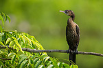 Little Cormorant (Microcarbo niger), Diyasaru Park, Colombo, Sri Lanka
