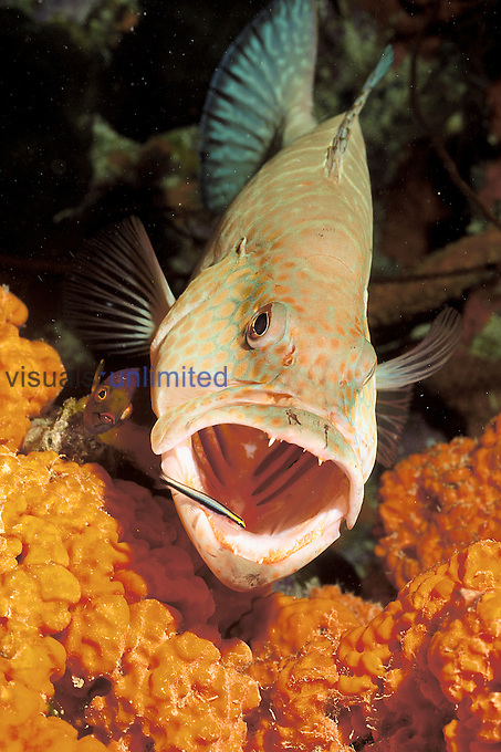 Tiger Grouper being cleaned at a cleaning station near an orange elephant ear sponge by a cleaner goby.