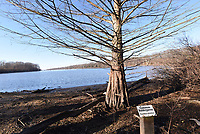 Eagle Watch Nature Trail is one of the few places in Northwest Arkansas where people can see a bald cypress tree. The tree was 3 feet tall when it was planted near Swepco Lake in 2002. Bald cypress trees are more common in eastern Arkansas.<br />