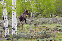 Moose in an Aspen grove, Grand Tetons National Park