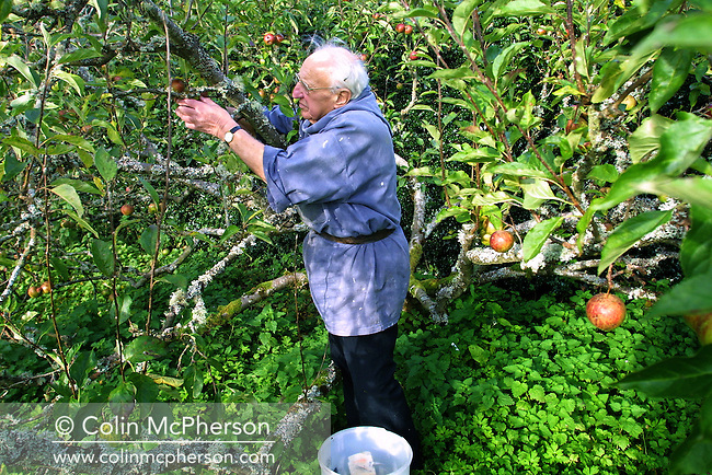 A monk picks apples in the orchards of the Benedictine monastery of Pluscarden Abbey, Moray, where people of all faiths and denominations come from all over the world for retreat. The abbey was the only medieval monastery in Britain still inhabited by monks and being used for its original purpose. It was founded in 1230 by King Alexander II, and it was also a retreat for people of all faiths.