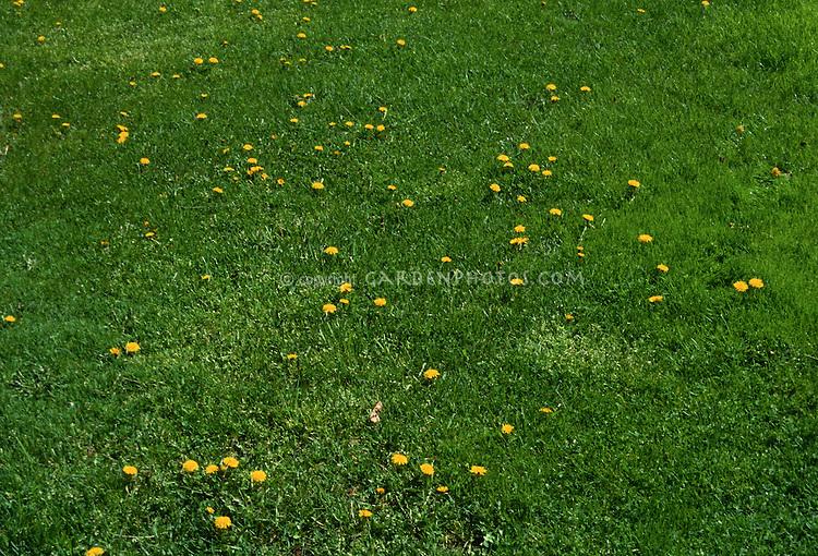 Dandelions in seedheads & flower in lawn grass