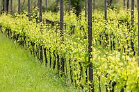 Italie, Vénétie, Venise:  Île de San Erasmo: domaine viticole: Orto di Venezia de Michel Thoulouze    // Italy, Veneto, Venice: