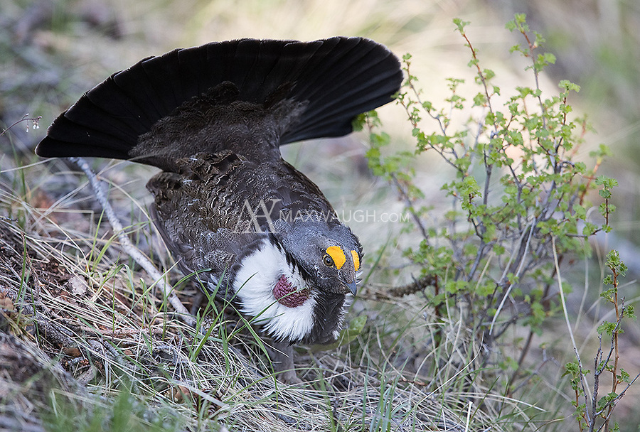 We had a wonderful encounter with some Dusky Grouse, watching as a male pursued and displayed for two females.