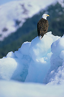 Bald eagle on floating ice berg, Prince William Sound, Alaska