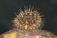 Dahlia Anemone - Urticina felina
