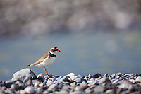 Semi palmated plover, along the Marsh Fork of the Canning River in the Arctic National Wildlife Refuge in the Brooks Range mountains, Alaska.