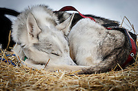 A Ken Anderson dog sleeps at the Ruby Checkpoint during the 2016 Iditarod.  March 11, 2016    <br /> <br /> Photo by Jeff Schultz (C) 2016  ALL RIGHTS RESERVED