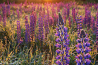 Two lupines are highlighted by back lighting in a field in Sugar Hill, New Hampshire during their annual Fields of Lupine Festival