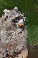 """Waschbär, verwaistes, pflegebedürftiges, in Menschenhand gepflegtes, zahmes Jungtier frisst einen Keks, Tierkind, Tierbaby, Tierbabies, Waschbaer, Wasch-Bär, Procyon lotor, Raccoon, Raton laveur, """"Frodo"""""""
