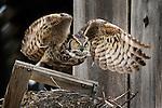 Great horned owl, Bella Coola, British Columbia, Canada