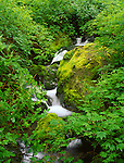 Siskiyou National Forest, OR  <br /> Emily Creek running over mossy boulders in a dense understory berry and vine branches