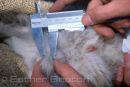 Measuring scrotum and penis of juvenile Yellow-footed Rock Wallaby. Western Queensland