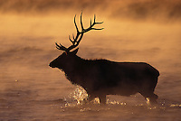 Elk crossing Madison River at sunrise, Yellowstone National Park
