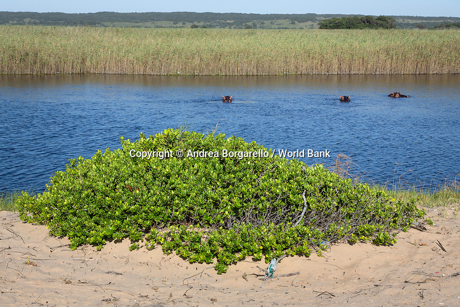 Marine Reserve of Ponta do Ouro.<br /> Maputo province, Mozambique.<br /> Hippos on a lagoon along the beach.