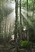 Sun rays break through the forest along the Wilderness Trail in the Pemigewasset Wilderness of Lincoln, New Hampshire.
