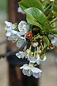 Ladybird on blossom of acid or sour cherry 'Nabella', late April. A recently introduced rival to 'Morello'. Bred in Germany, it is more compact but heavier cropping.