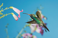 Broad-billed Hummingbird, Cynanthus latirostris, male in flight feeding on flower, Madera Canyon, Arizona, USA, May 2005