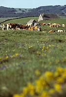 Europe/France/Auvergne/12/Aveyron/Laguiole: Vaches (race Aubrac) en pâturage et ancien buron