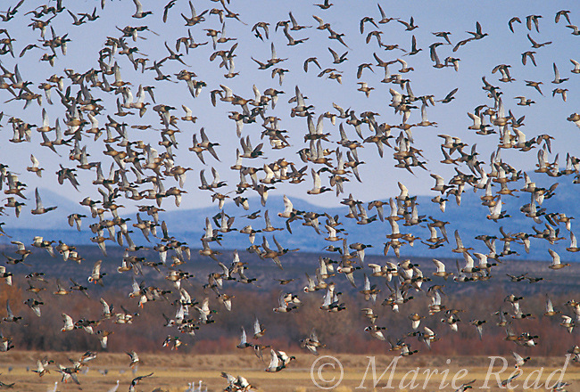Mallard (Anas platyrhynchos) large flock in flight in winter, Bosque Del Apache Natinal Wildlife Refuge, New Mexico, USA<br /> Slide # B24-395