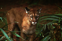 Efforts are being made to save the endangered Florida panther at White Oak Conservation Center, one of the world's premiere wildlife breeding, research facilities. <br /> <br /> Located along the St. Mary's River in North Florida, the center spans 600 acres and is surrounded by 6,800 acres of pine and hardwood forest and wetlands.<br /> <br />  The Center established in 1982 by philanthropist Howard Gilman, spans 600 acres and is surrounded by 6,800 acres of pine and hardwood forest and wetlands.