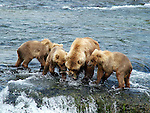 Sow brown bear sharing salmon with cubs at Katmai NP