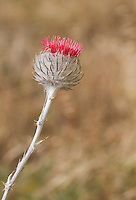 Cobweb thistle, Cirsium occidentale, Point Reyes National Seashore, California