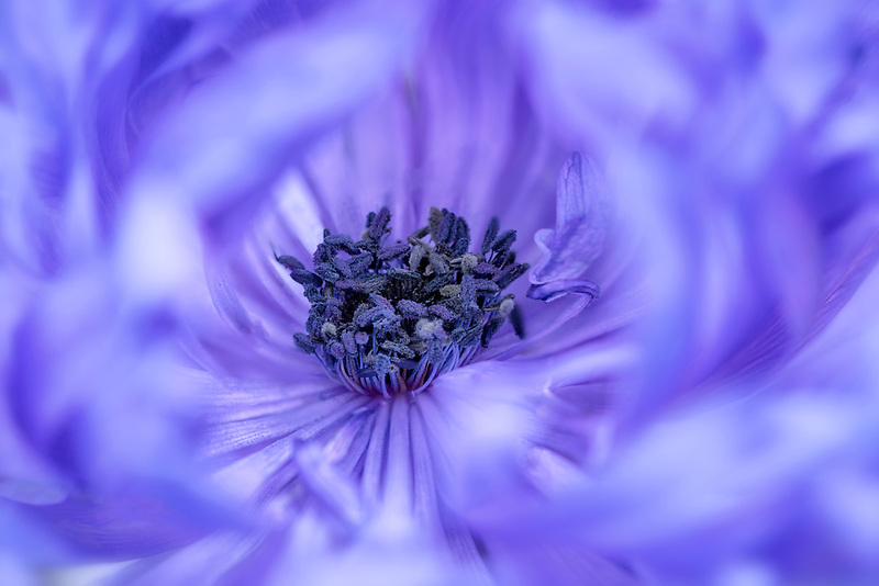 Close up of Anemone (' Harmony Double Blue'). Oregon