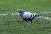 A pigeon during the Premier League match between Swansea City and West Ham United at The Liberty Stadium, Swansea, Wales, UK. Saturday 03 March 2018