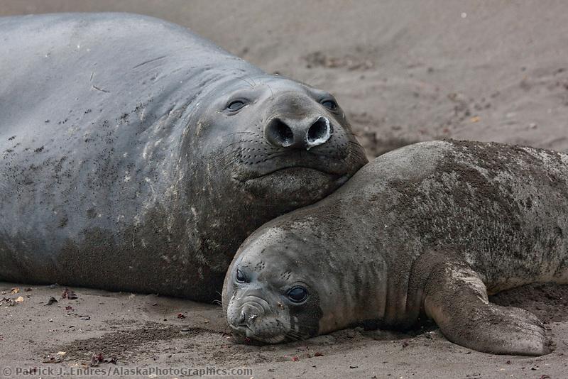 Elephant seals, Hannah Point, Livingston Island, South Shetland Islands, Antarctica.