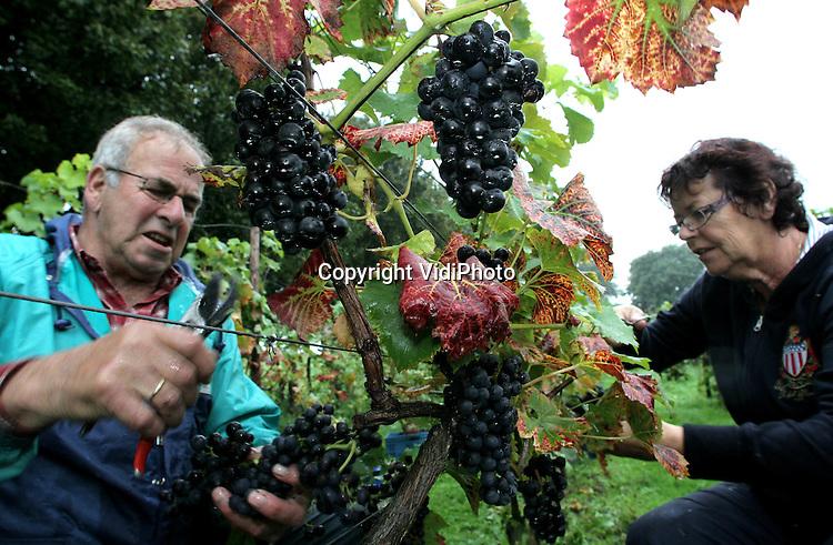 Foto: VidiPhoto..DODEWAARD - Personeel van wijngaard Villa Hehum in Dodewaard is dinsdag begonnen met de oogst van zijn blauwe druiven. Eigenaar Inno Venhorst bezit de enige buitendijkse wijngaard van Nederland. Nu de Nederlandse druivenoogst in volle gang is blijkt dat zeker 50 procent van de druiven is verrot door de vele regen van de afgelopen tijd en ongeschikt om wijn van te maken. Dat betekent de slechtste druivenoogst ooit op Nederlandse bodem. Er zijn op dit moment zo'n 200 wijngaarden in Nederland met een oppervlakte van 190 ha. en een opbrengst van 1,2 miljoen flessen wijn. Het aantal wijngaarden neemt nog ieder jaar toe.