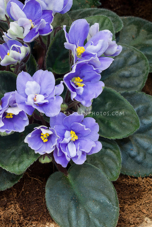 Saintpaulia 'Rhapsodie Clementine' (standard African Violet houseplant) with blue flowers, houseplant