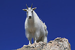 Getty Images exclusive, Mountain Goat (Oreamnos americanus) on the slopes of Mount Evans (14250 feet), Rocky Mountains, west of Denver, Colorado, USA Private photo tours to Mt Evans. .  John leads private, wildlife photo tours throughout Colorado. Year-round.