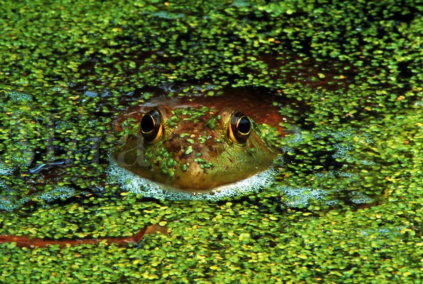 American bullfrog (rama catesbeiana) rests quietly  in duckweed