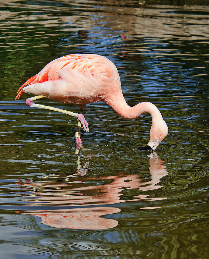 Flamingo photographed at the San Diego Wild Animal Park